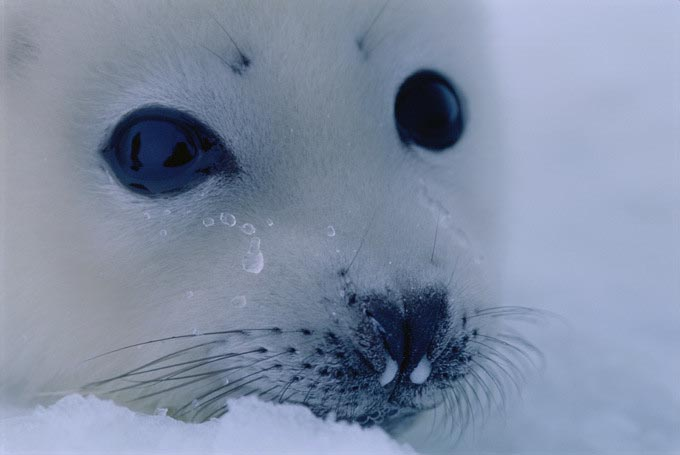 harp_seal