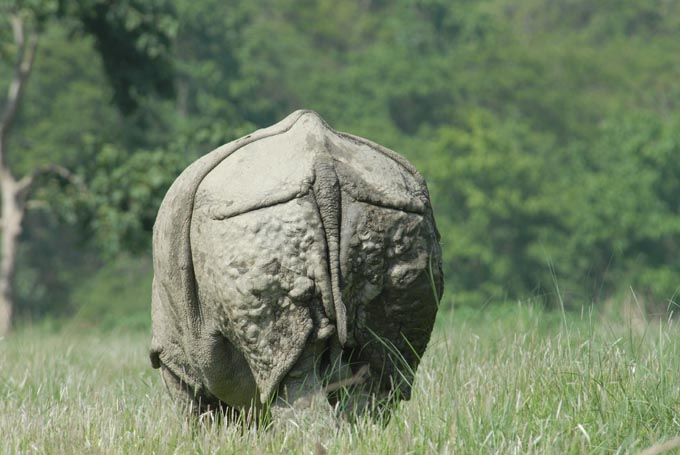 indian_rhinoceros