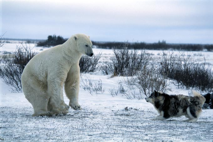polar_bear_and_dog