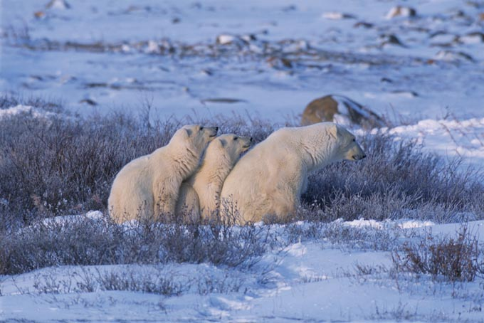 polar_bear_mother_and_cubs