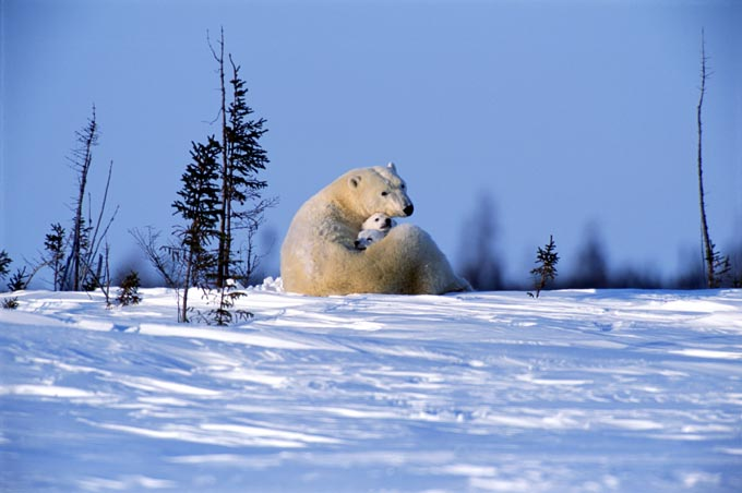 polar_bear_mother_and_cubs2